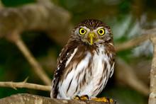 Ferruginous Pygmy-owl  (Glauci...