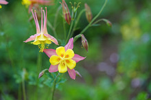 Fields Of Colorful Columbine F...