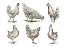 Chicken Breeding. Animal Husba...