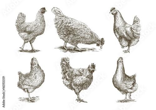 Fotografie, Obraz  chicken breeding. animal husbandry. vector sketches on white