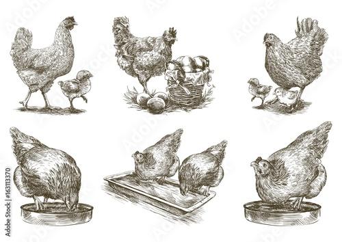chicken breeding. animal husbandry. vector sketches on white Fototapeta