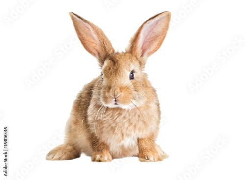 Funny redhead rabbit