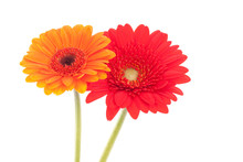 Two African Daisy Flowers, One Orange, One Red, Isolated On White.