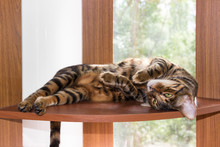 Cat Breed Toyger Resting On Wo...