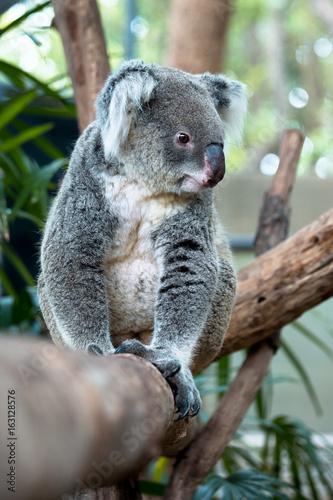 Canvas Prints Koala Lazy Koara on Tree