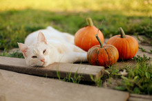 Little Pumpkins And A Cat In Warm Autumn Day
