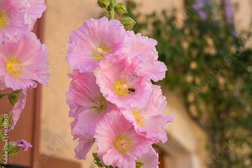 Fleurs de mauve (malva) roses clair. Une abeille dans la ...
