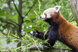 Red panda eating bamboo leaves.