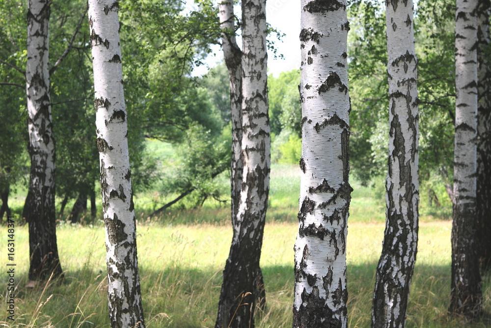 Beautiful white birches in summer in birch grove