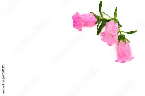 Pink flowers campanula medium common name canterbury bells bell pink flowers campanula medium common name canterbury bells bell flower on a mightylinksfo