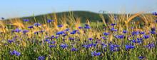 Blue Cornflowers In Wheat Field.