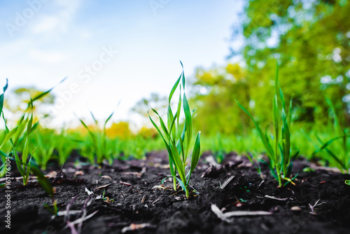 Sprouting field of maize, corn Canvas Print