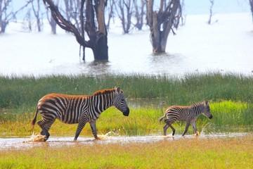 Fototapeta na wymiar Zebrafamilie