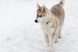 Fototapeta Zwierzęta - Siberian husky VII