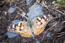 Painted Lady Butterfly On Muddy Path