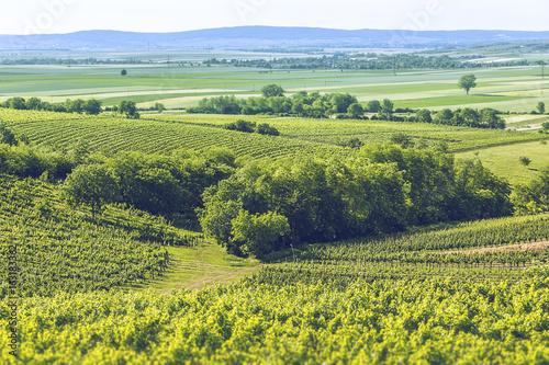 Foto op Aluminium Heuvel Early summer in the vineyard.