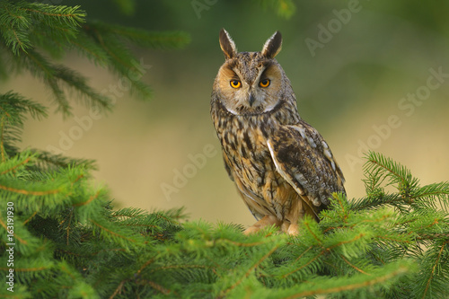 Fotobehang Uil Europaean Long Eared Owl Asio otus - natural forest green background