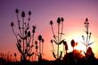sunset thistles / Sonnenuntergang Karden