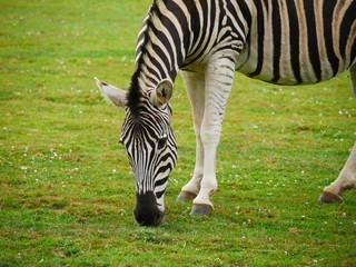 Fototapeta na wymiar Grazing zebra