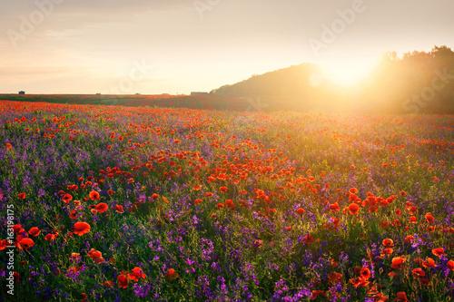 Poppyfield at evening sunlights