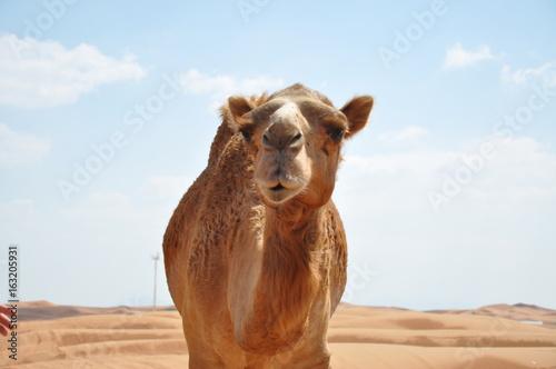 Spoed Fotobehang Kameel Camel