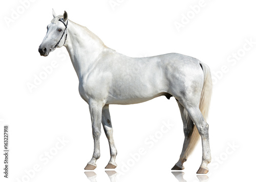 Fototapeta The gray beautiful horse Orlov trotter breed standing  isolated on white background. side view obraz