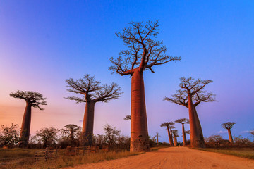 Fototapeta na wymiar Beautiful Baobab trees after sunset at the avenue of the baobabs in Madagascar