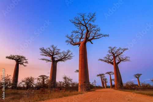 Photo Beautiful Baobab trees after sunset at the avenue of the baobabs in Madagascar