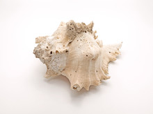 Seashell Ramose Murex On White...