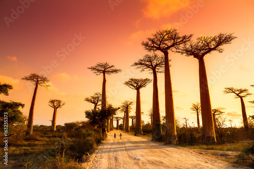 Fotografia Beautiful Baobab trees at sunset at the avenue of the baobabs in Madagascar
