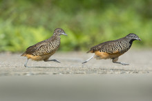 Barred Buttonquail Running Across The Road ,Beautiful Bird (Male And Female)
