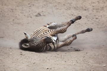 Fototapeta na wymiar Chapman's zebra (Equus quagga chapmani).