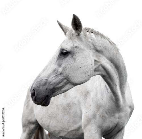 Fotografia White horse on white background