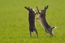 Brown Hares (lepus Europaeus) ...