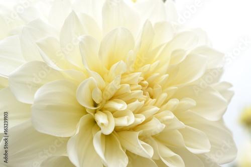 In de dag Dahlia ダリアの花