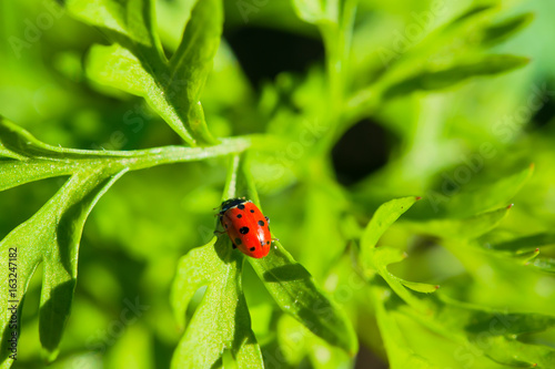 In de dag Lime groen Insect ladybug on a stalk of green grass, summer landscape