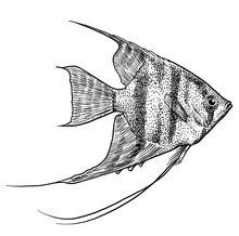 Angelfish Illustration, Drawin...