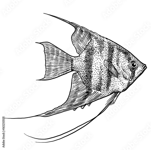 Photo Angelfish illustration, drawing, engraving, ink, line art, vector