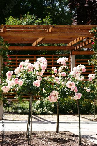 Fotografia  Beschnittene Rosenstöcke  / Beschnittene Rosenstöcke vor einer Veranda mit Holzgerüsten