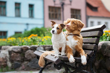 Jack Russell Terrier And Tolle...