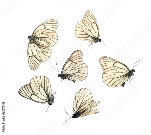 Aporia Crataegi Butterflies Wallpaper Mural