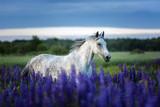 Fototapeta Konie - Arabian horse running among lupine flowers.