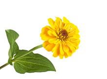 Beautiful Yellow Zinnia Flower On White Background