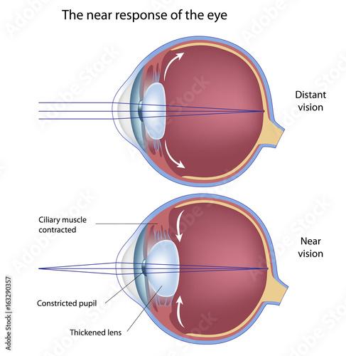 Photo The near response of the eye