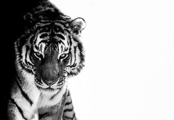 tiger eyes black and white