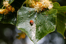 Ladybug Creeps On A Leaf Of A ...