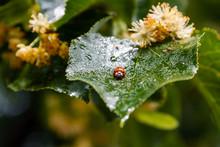 Ladybug Creeps On A Leaf Of A ...
