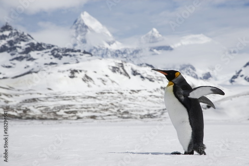 Fényképezés A lone king penguin stretches its flippers as it crosses a snowfield in front of