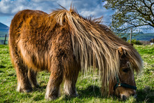 Brown Miniature Horse With Lon...