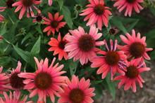 "Echinacea ""Glowing Dream"" Coneflower"